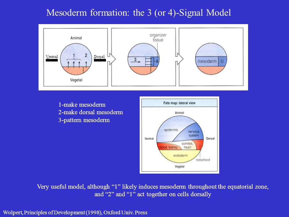 "Mesoderm formation: the 3 (or 4)-Signal Model 1-make mesoderm 2-make dorsal mesoderm 3-pattern mesoderm Very useful model, although ""1"" likely induces"