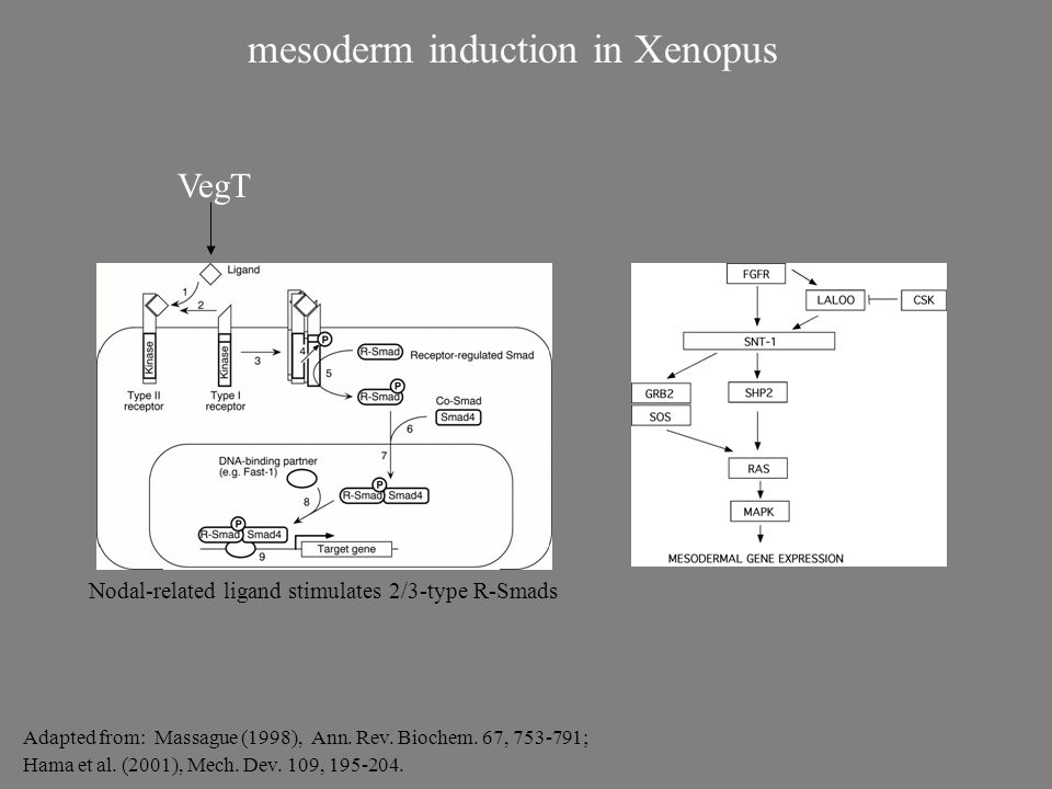 mesoderm induction in Xenopus Adapted from: Massague (1998), Ann. Rev. Biochem. 67, 753-791; Hama et al. (2001), Mech. Dev. 109, 195-204. VegT Nodal-r