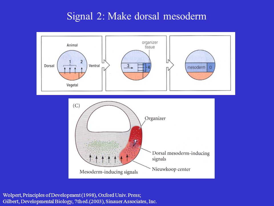Signal 2: Make dorsal mesoderm Wolpert, Principles of Development (1998), Oxford Univ. Press; Gilbert, Developmental Biology, 7th ed.(2003), Sinauer A