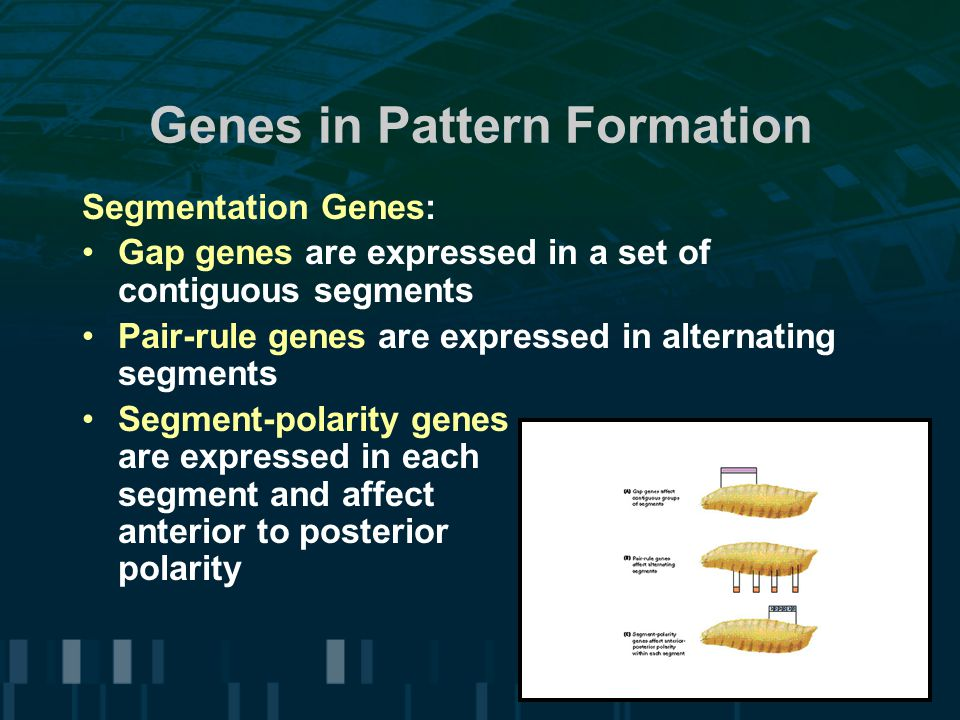 Genes in Pattern Formation Segmentation Genes: Gap genes are expressed in a set of contiguous segments Pair-rule genes are expressed in alternating segments Segment-polarity genes are expressed in each segment and affect anterior to posterior polarity