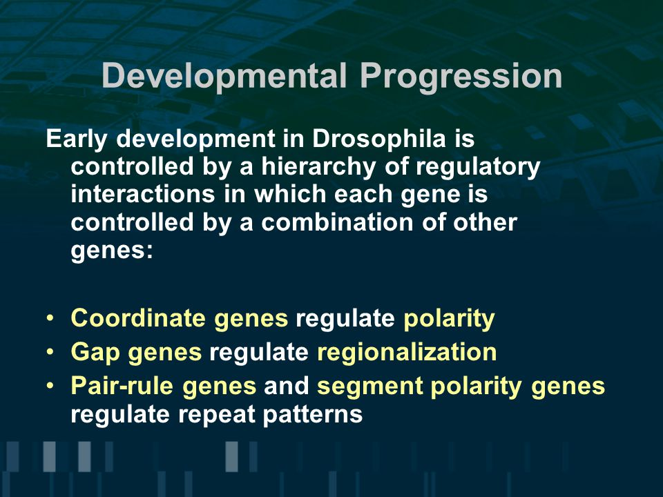Developmental Progression Early development in Drosophila is controlled by a hierarchy of regulatory interactions in which each gene is controlled by a combination of other genes: Coordinate genes regulate polarity Gap genes regulate regionalization Pair-rule genes and segment polarity genes regulate repeat patterns