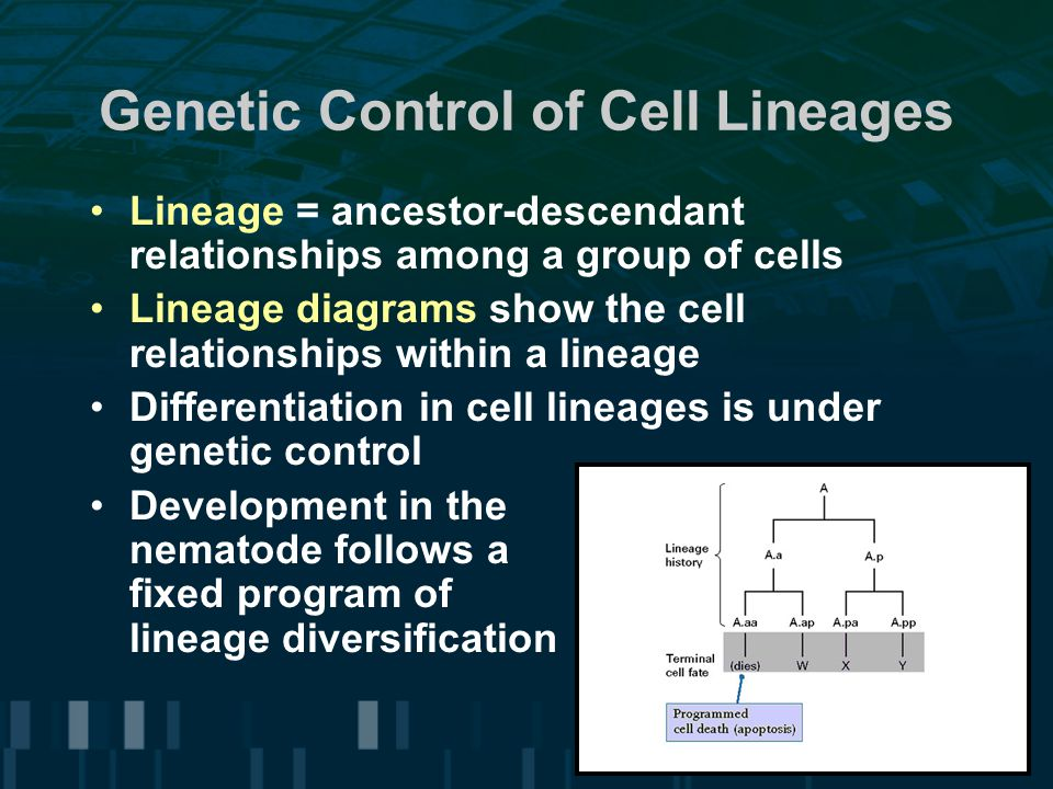 Genetic Control of Cell Lineages Lineage = ancestor-descendant relationships among a group of cells Lineage diagrams show the cell relationships within a lineage Differentiation in cell lineages is under genetic control Development in the nematode follows a fixed program of lineage diversification