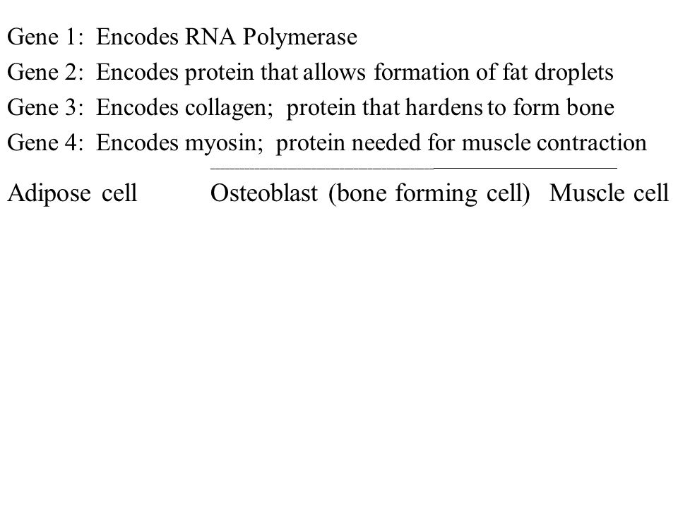 Gene 1: Encodes RNA Polymerase Gene 2: Encodes protein that allows formation of fat droplets Gene 3: Encodes collagen; protein that hardens to form bo