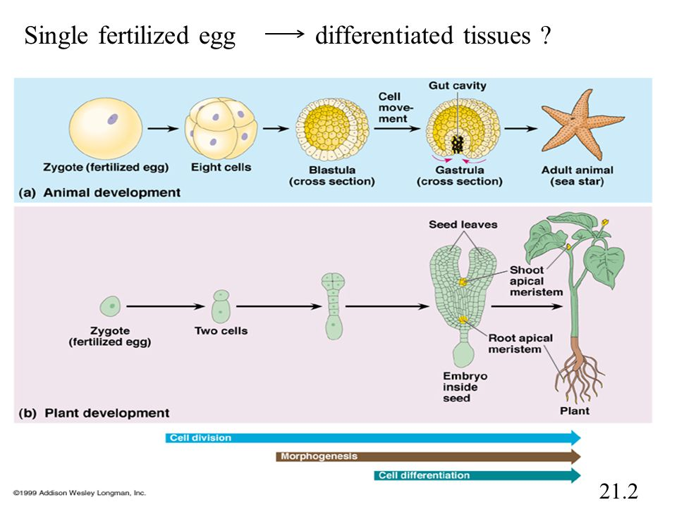 Single fertilized egg differentiated tissues ? 21.2