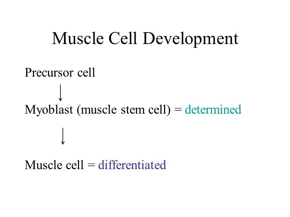Muscle Cell Development Precursor cell Myoblast (muscle stem cell) = determined Muscle cell = differentiated