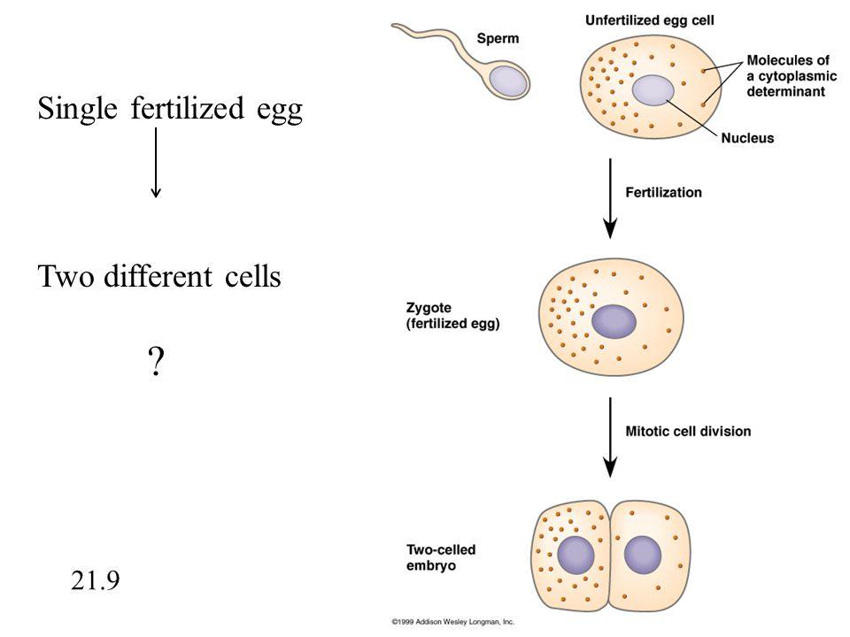 Single fertilized egg Two different cells ? 21.9