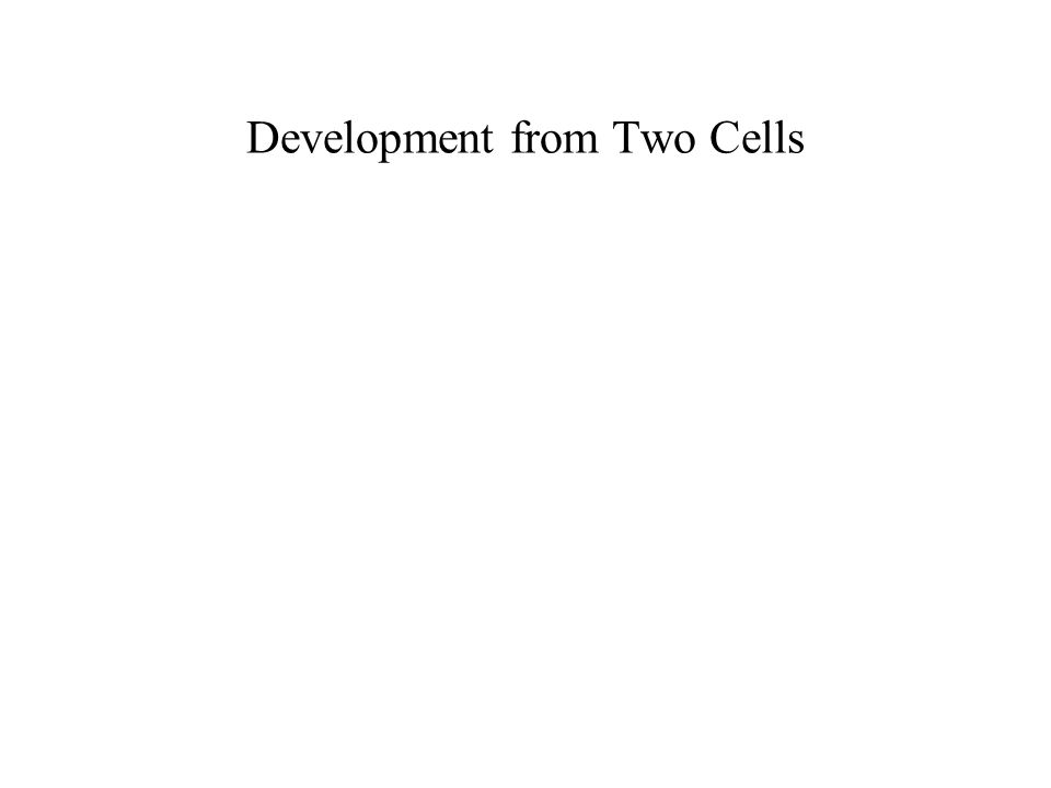 Development from Two Cells