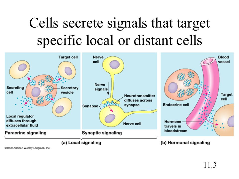 Cells secrete signals that target specific local or distant cells 11.3
