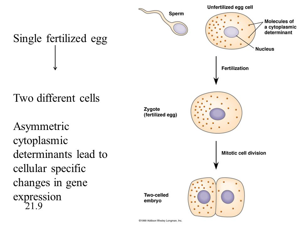 Single fertilized egg Two different cells Asymmetric cytoplasmic determinants lead to cellular specific changes in gene expression 21.9