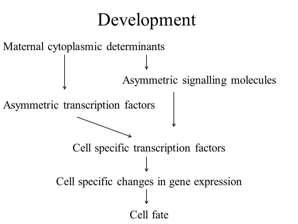 Development Maternal cytoplasmic determinants Asymmetric signalling molecules Asymmetric transcription factors Cell specific transcription factors Cel