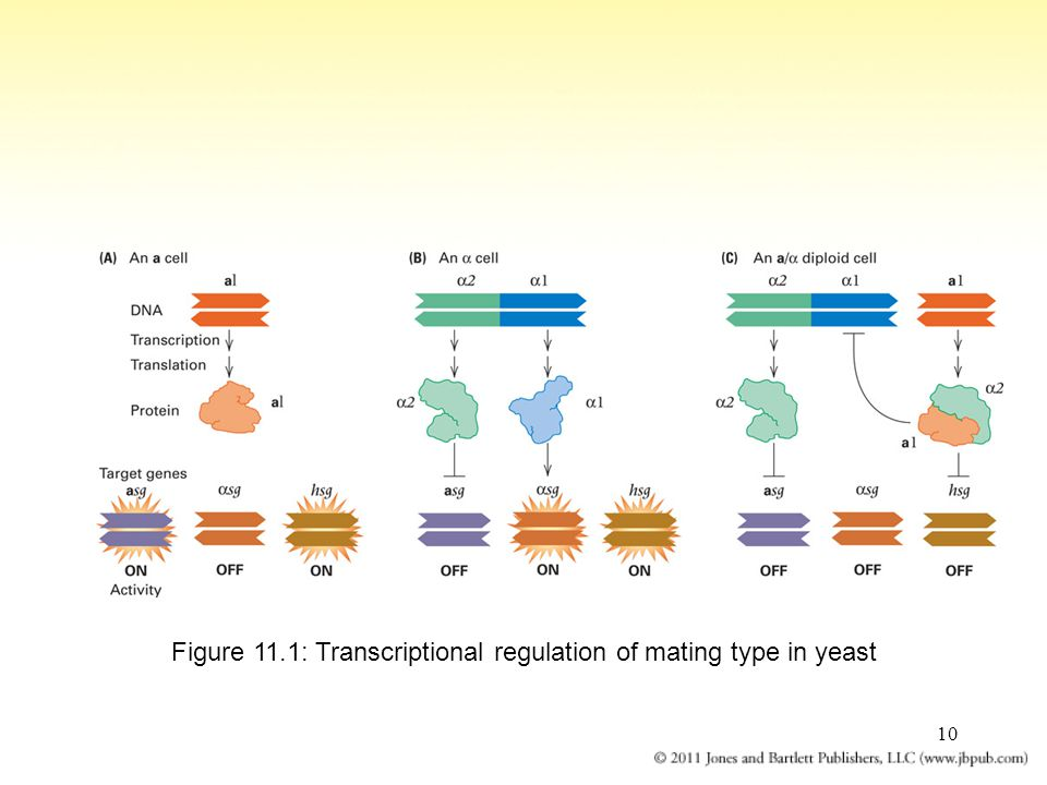 10 Figure 11.1: Transcriptional regulation of mating type in yeast