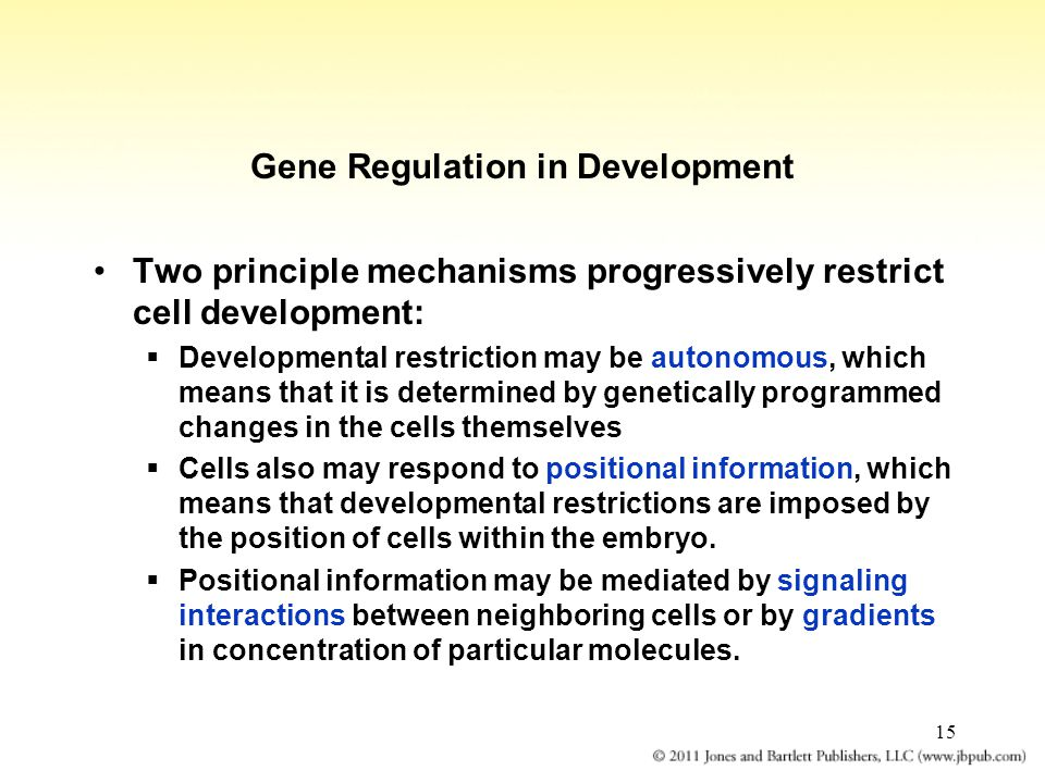 15 Gene Regulation in Development Two principle mechanisms progressively restrict cell development:  Developmental restriction may be autonomous, whi