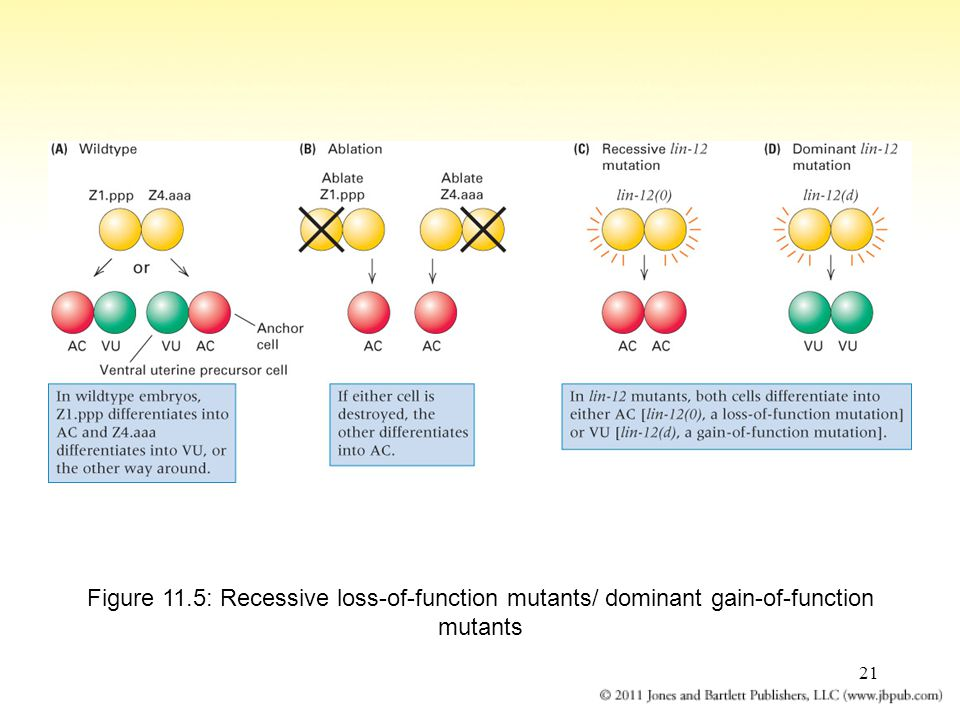 21 Figure 11.5: Recessive loss-of-function mutants/ dominant gain-of-function mutants