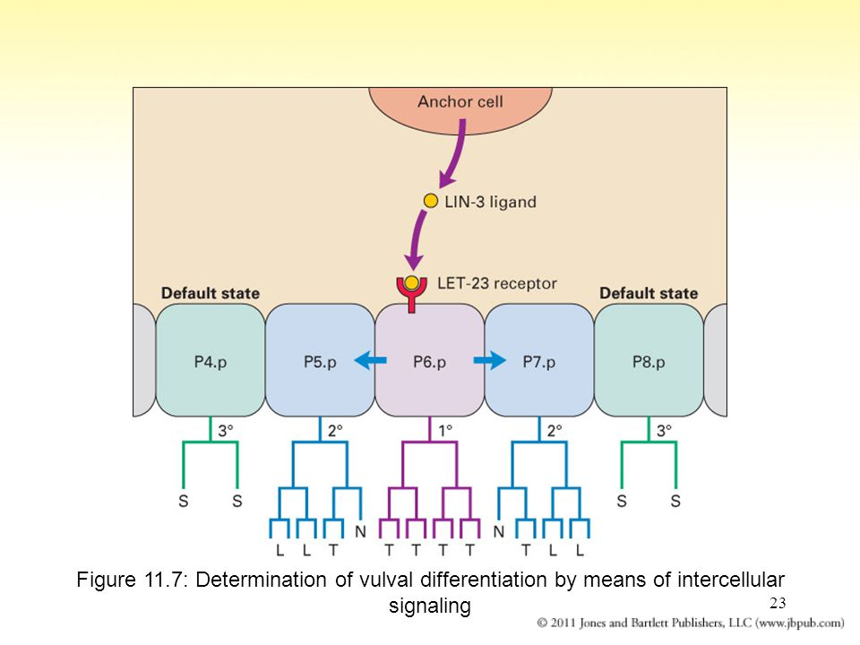 23 Figure 11.7: Determination of vulval differentiation by means of intercellular signaling