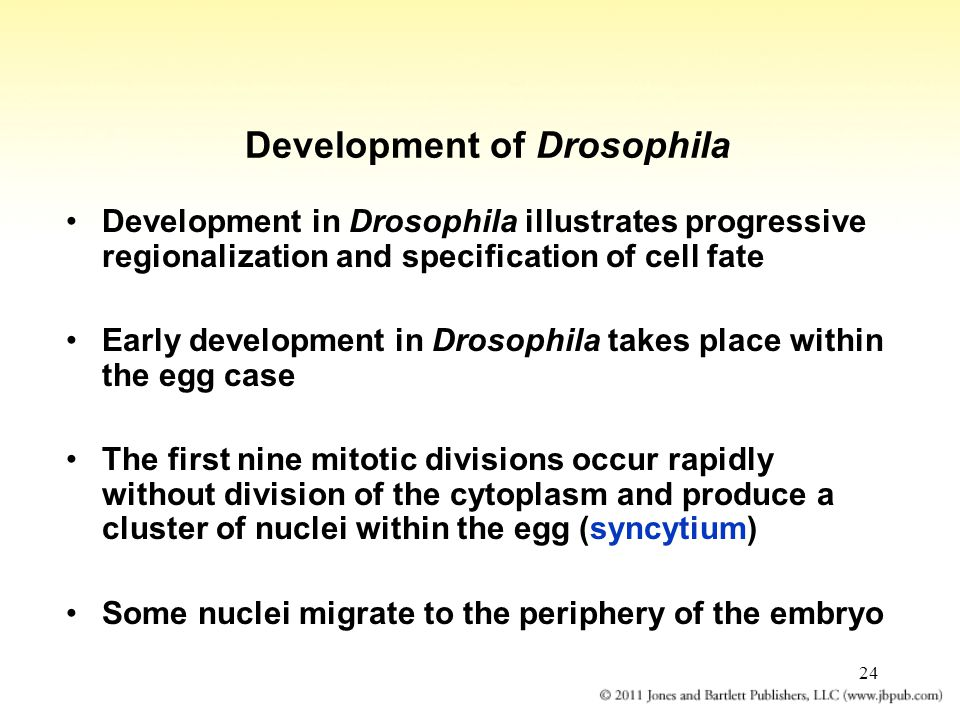 24 Development of Drosophila Development in Drosophila illustrates progressive regionalization and specification of cell fate Early development in Drosophila takes place within the egg case The first nine mitotic divisions occur rapidly without division of the cytoplasm and produce a cluster of nuclei within the egg (syncytium) Some nuclei migrate to the periphery of the embryo