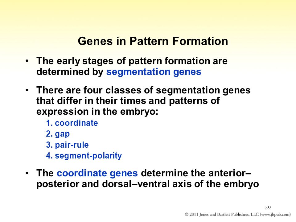 29 Genes in Pattern Formation The early stages of pattern formation are determined by segmentation genes There are four classes of segmentation genes