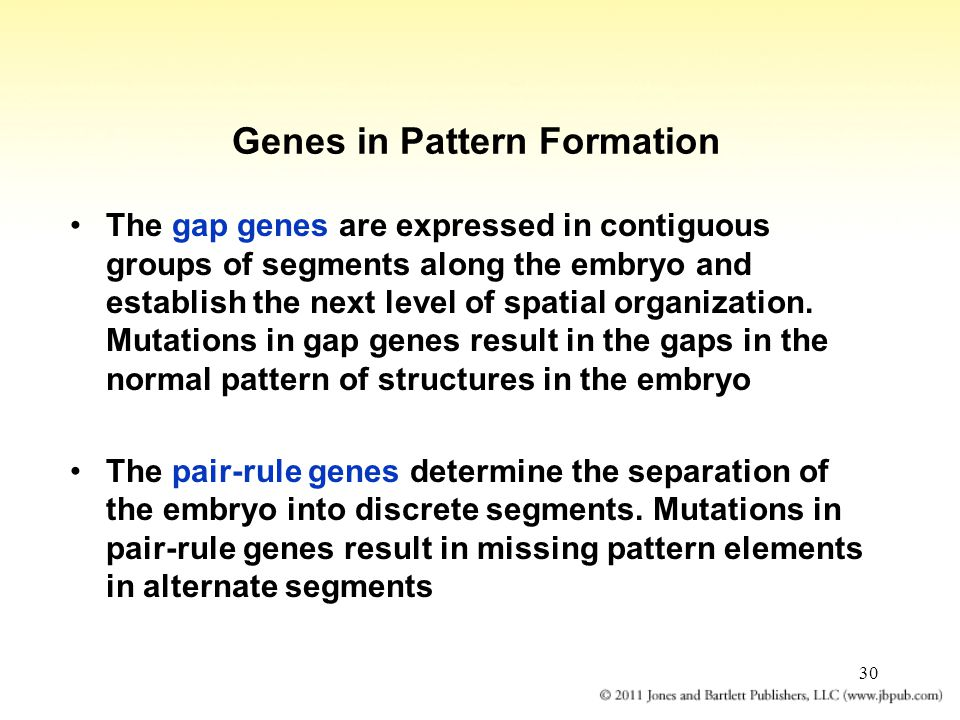 30 Genes in Pattern Formation The gap genes are expressed in contiguous groups of segments along the embryo and establish the next level of spatial or
