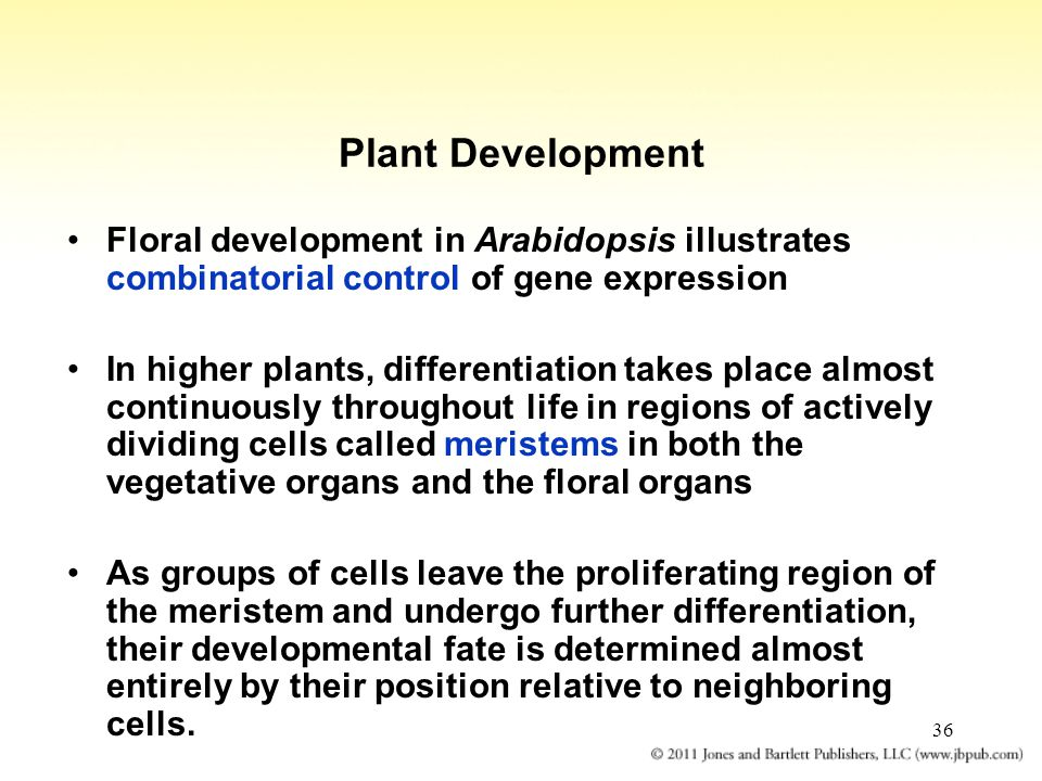 36 Plant Development Floral development in Arabidopsis illustrates combinatorial control of gene expression In higher plants, differentiation takes pl