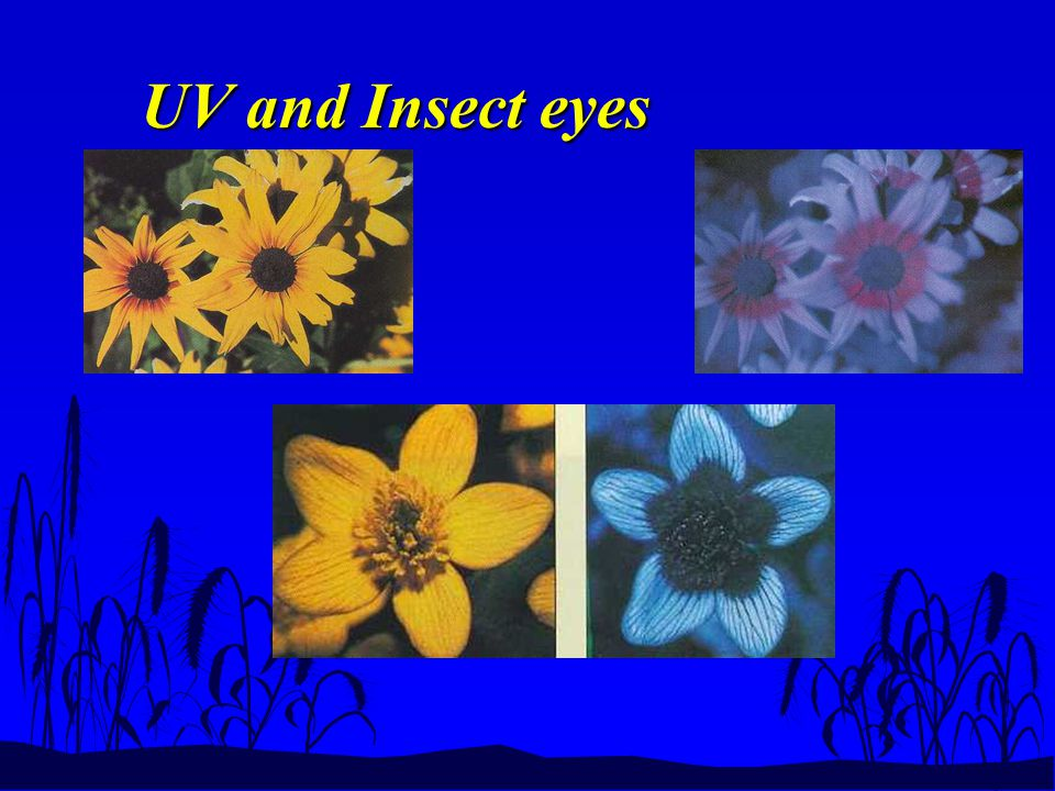 UV and Insect eyes
