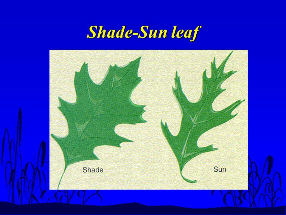 Shade-Sun leaf