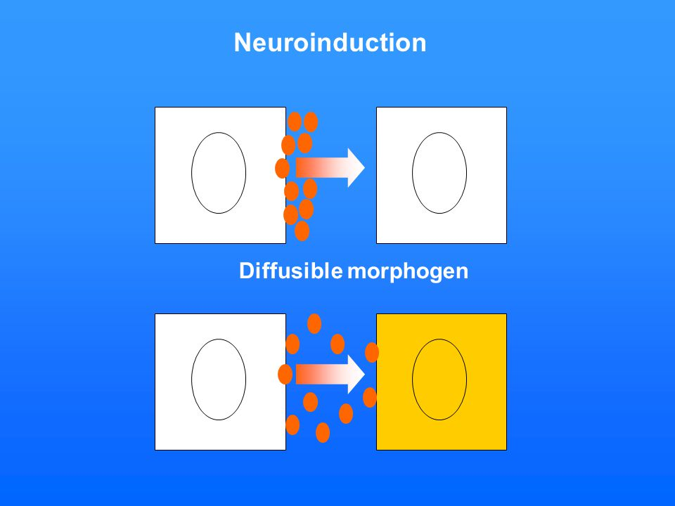Diffusible morphogen Neuroinduction