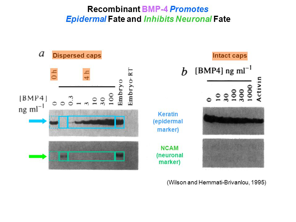 Recombinant BMP-4 Promotes Epidermal Fate and Inhibits Neuronal Fate NCAM (neuronal marker) (Wilson and Hemmati-Brivanlou, 1995) Intact caps Dispersed