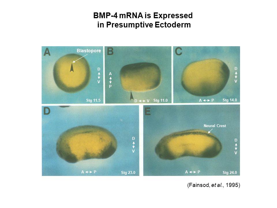 BMP-4 mRNA is Expressed in Presumptive Ectoderm (Fainsod, et al., 1995) Blastopore Stg 11.5Stg 11.0 Stg 14.0 Stg 23.0Stg 24.0 APAP D V D V AP DV D V D V A P Neural Crest