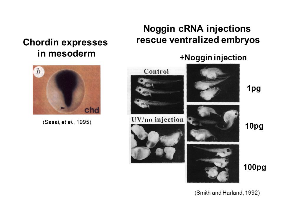 Chordin expresses in mesoderm (Sasai, et al., 1995) Noggin cRNA injections rescue ventralized embryos +Noggin injection 1pg 10pg 100pg (Smith and Harl