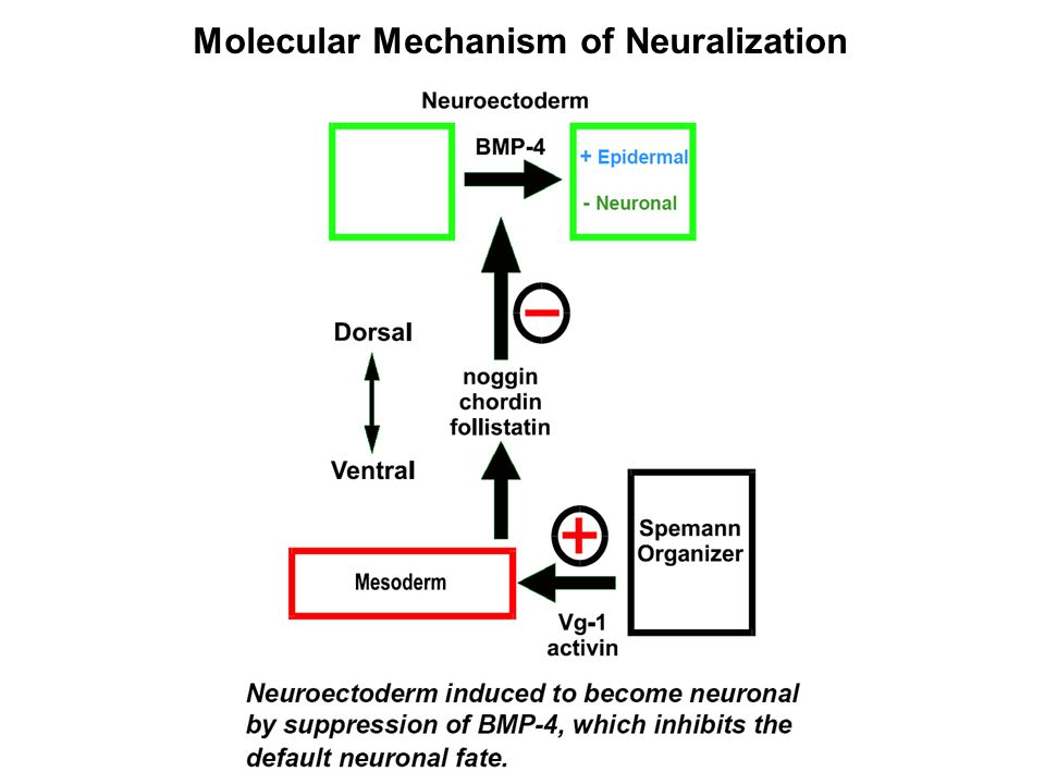 Molecular Mechanism of Neuralization