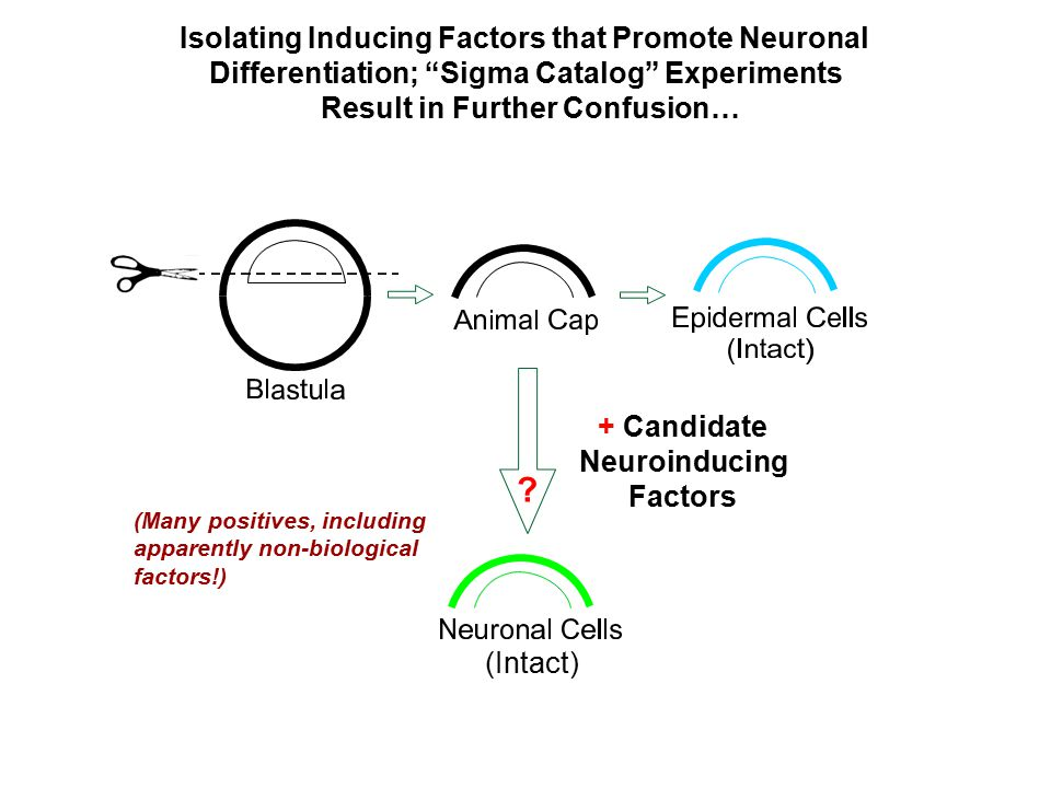 "Isolating Inducing Factors that Promote Neuronal Differentiation; ""Sigma Catalog"" Experiments Result in Further Confusion… + Candidate Neuroinducing F"