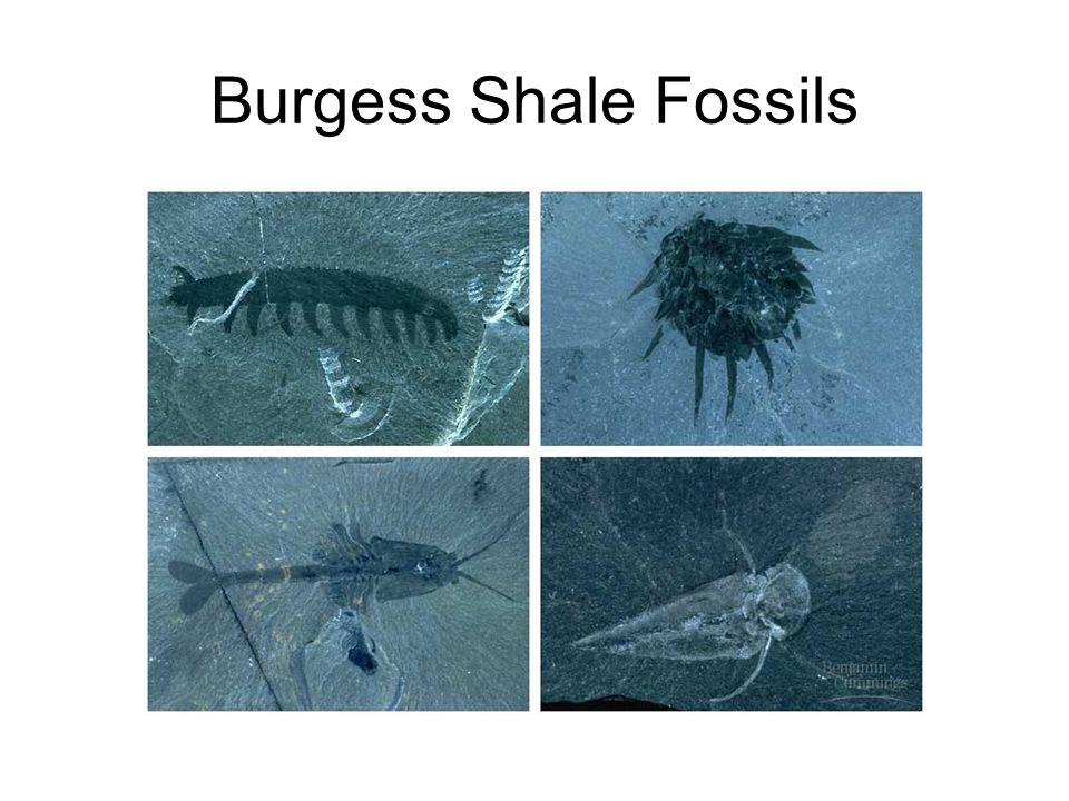 Burgess Shale Fossils