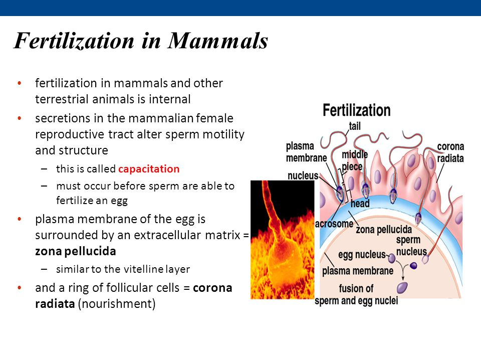 Fertilization in Mammals fertilization in mammals and other terrestrial animals is internal secretions in the mammalian female reproductive tract alter sperm motility and structure –this is called capacitation –must occur before sperm are able to fertilize an egg plasma membrane of the egg is surrounded by an extracellular matrix = zona pellucida –similar to the vitelline layer and a ring of follicular cells = corona radiata (nourishment)