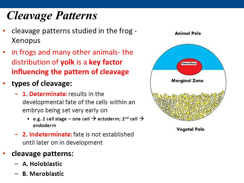cleavage patterns studied in the frog - Xenopus in frogs and many other animals- the distribution of yolk is a key factor influencing the pattern of cleavage types of cleavage: –1.