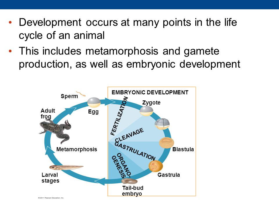 Development occurs at many points in the life cycle of an animal This includes metamorphosis and gamete production, as well as embryonic development EMBRYONIC DEVELOPMENT Sperm Adult frog Egg Metamorphosis Larval stages Zygote Blastula Gastrula Tail-bud embryo FERTILIZATION CLEAVAGE GASTRULATION ORGANO- GENESIS