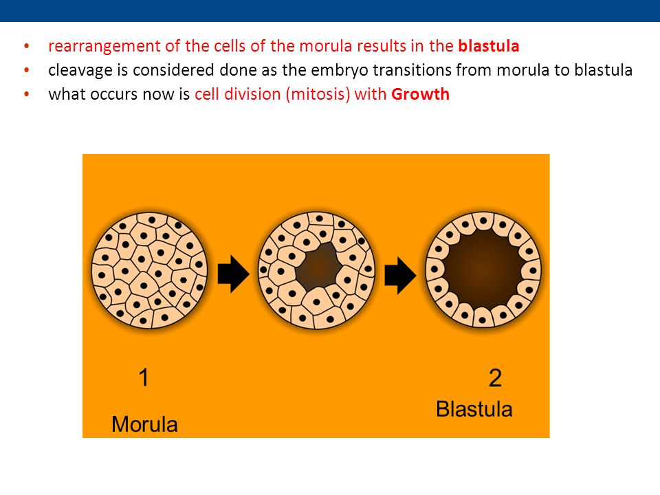 rearrangement of the cells of the morula results in the blastula cleavage is considered done as the embryo transitions from morula to blastula what occurs now is cell division (mitosis) with Growth Morula Blastula