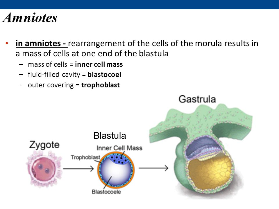 Amniotes in amniotes - rearrangement of the cells of the morula results in a mass of cells at one end of the blastula –mass of cells = inner cell mass –fluid-filled cavity = blastocoel –outer covering = trophoblast Blastula