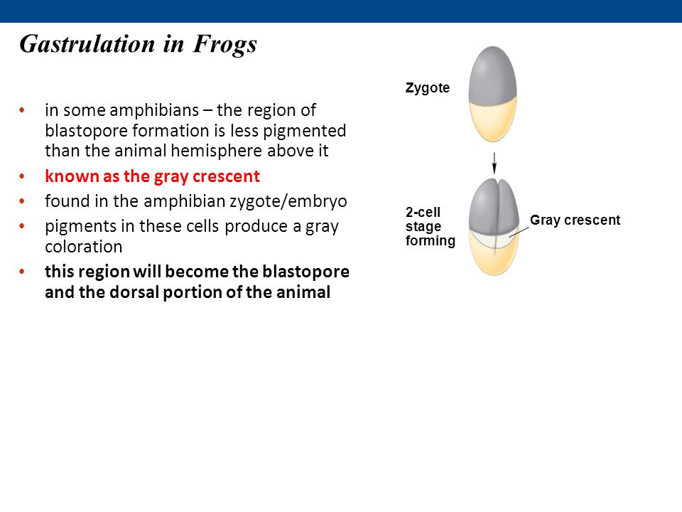 in some amphibians – the region of blastopore formation is less pigmented than the animal hemisphere above it known as the gray crescent found in the amphibian zygote/embryo pigments in these cells produce a gray coloration this region will become the blastopore and the dorsal portion of the animal Gastrulation in Frogs Zygote 2-cell stage forming Gray crescent