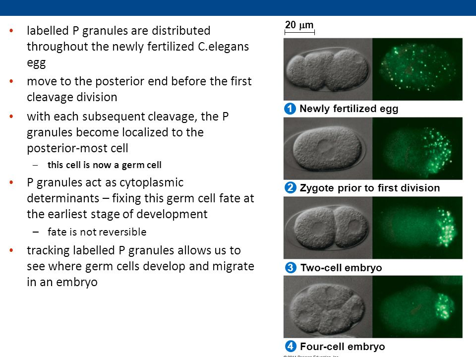 labelled P granules are distributed throughout the newly fertilized C.elegans egg move to the posterior end before the first cleavage division with each subsequent cleavage, the P granules become localized to the posterior-most cell –this cell is now a germ cell P granules act as cytoplasmic determinants – fixing this germ cell fate at the earliest stage of development –fate is not reversible tracking labelled P granules allows us to see where germ cells develop and migrate in an embryo Newly fertilized egg Zygote prior to first division Two-cell embryo Four-cell embryo 20  m 2 1 3 4