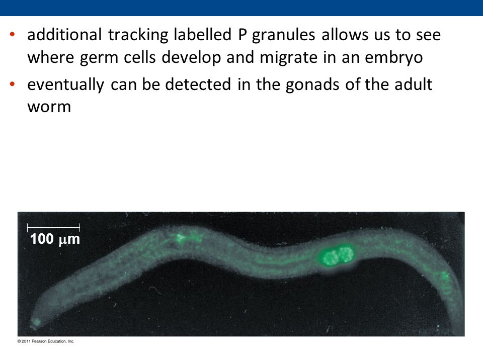 additional tracking labelled P granules allows us to see where germ cells develop and migrate in an embryo eventually can be detected in the gonads of the adult worm 100  m