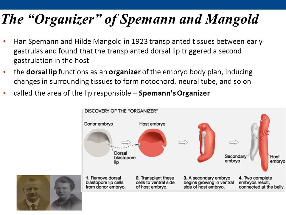 The Organizer of Spemann and Mangold Han Spemann and Hilde Mangold in 1923 transplanted tissues between early gastrulas and found that the transplanted dorsal lip triggered a second gastrulation in the host the dorsal lip functions as an organizer of the embryo body plan, inducing changes in surrounding tissues to form notochord, neural tube, and so on called the area of the lip responsible – Spemann's Organizer