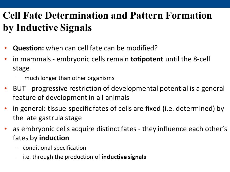 Cell Fate Determination and Pattern Formation by Inductive Signals Question: when can cell fate can be modified.