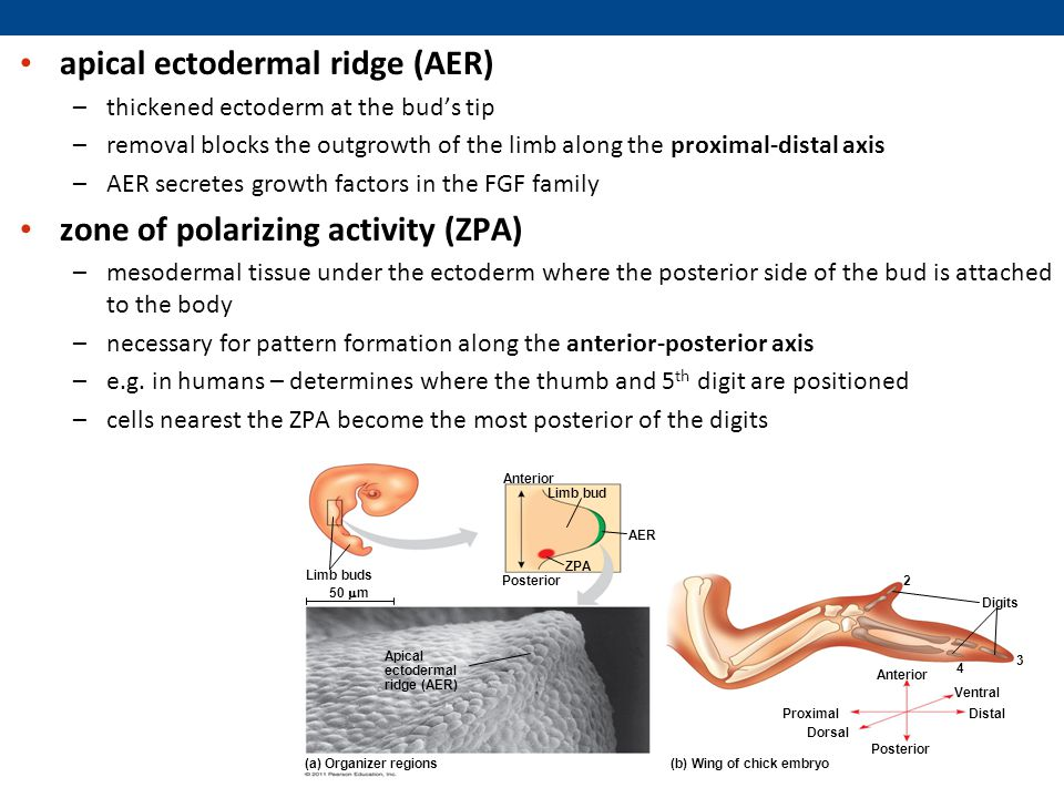 apical ectodermal ridge (AER) –thickened ectoderm at the bud's tip –removal blocks the outgrowth of the limb along the proximal-distal axis –AER secretes growth factors in the FGF family zone of polarizing activity (ZPA) –mesodermal tissue under the ectoderm where the posterior side of the bud is attached to the body –necessary for pattern formation along the anterior-posterior axis –e.g.