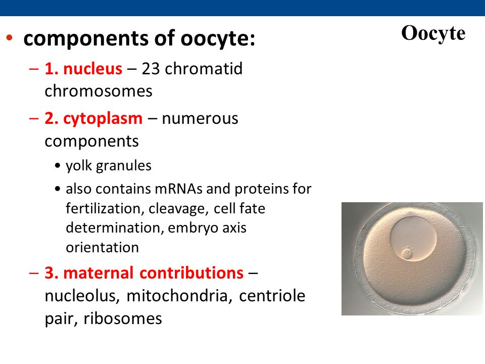 Oocyte components of oocyte: –1.nucleus – 23 chromatid chromosomes –2.