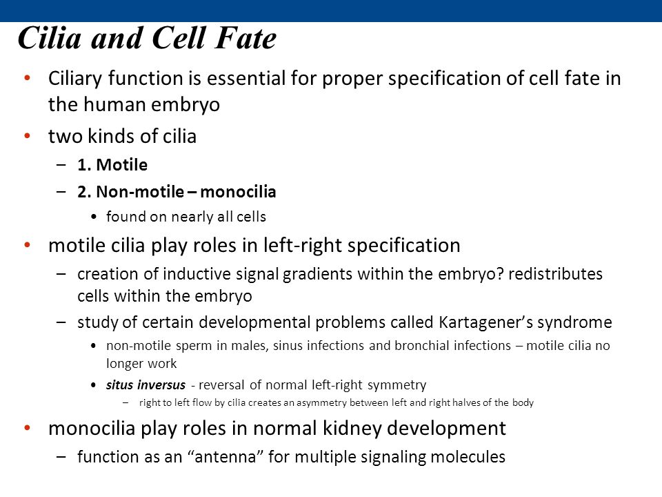 Cilia and Cell Fate Ciliary function is essential for proper specification of cell fate in the human embryo two kinds of cilia –1.