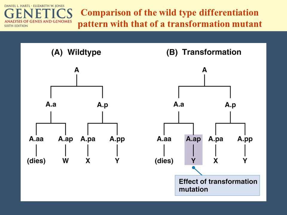 Comparison of the wild type differentiation pattern with that of a transformation mutant