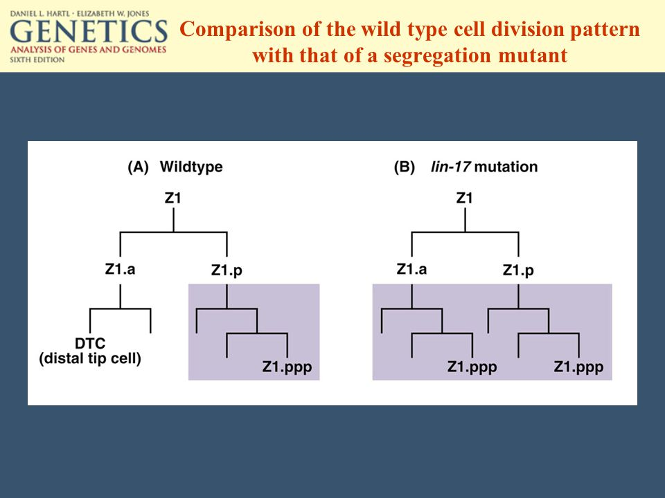Comparison of the wild type cell division pattern with that of a segregation mutant