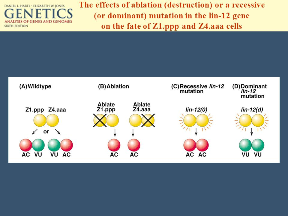 The effects of ablation (destruction) or a recessive (or dominant) mutation in the lin-12 gene on the fate of Z1.ppp and Z4.aaa cells