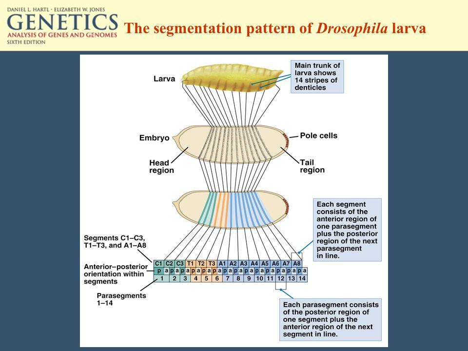The segmentation pattern of Drosophila larva