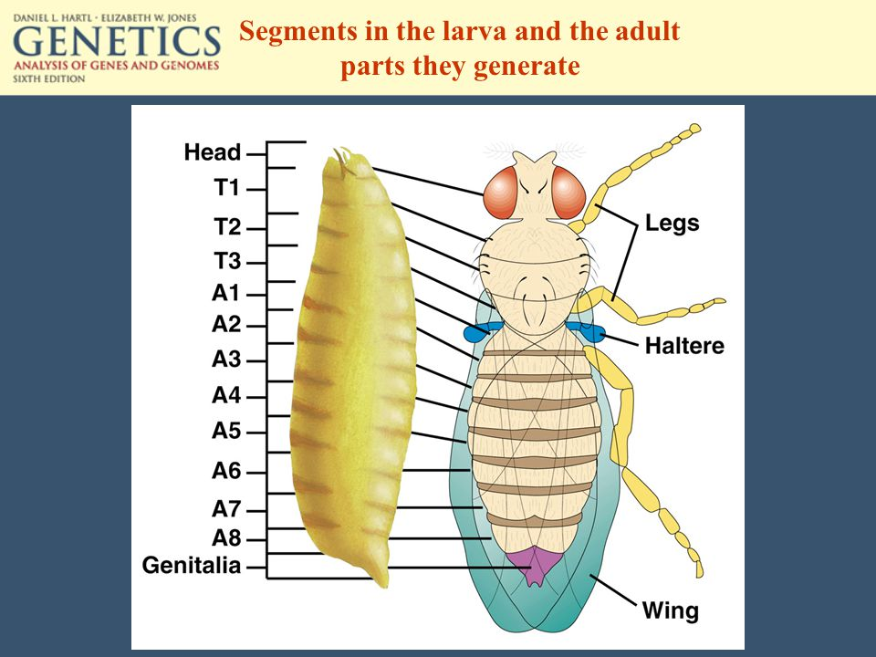 Segments in the larva and the adult parts they generate