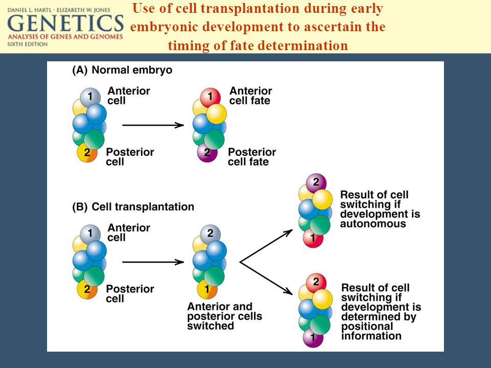 Use of cell transplantation during early embryonic development to ascertain the timing of fate determination